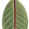 Green leaf of cherry — Stock Photo