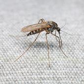 Mosquito — Stock Photo