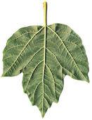 Leaf of arrowwood — Stock Photo