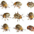 Colorado beetles — Foto Stock