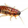 African big cockroach - Stock Photo