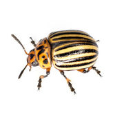 The Colorado beetle — Stock Photo
