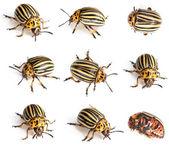 Besouros de colorado — Fotografia Stock