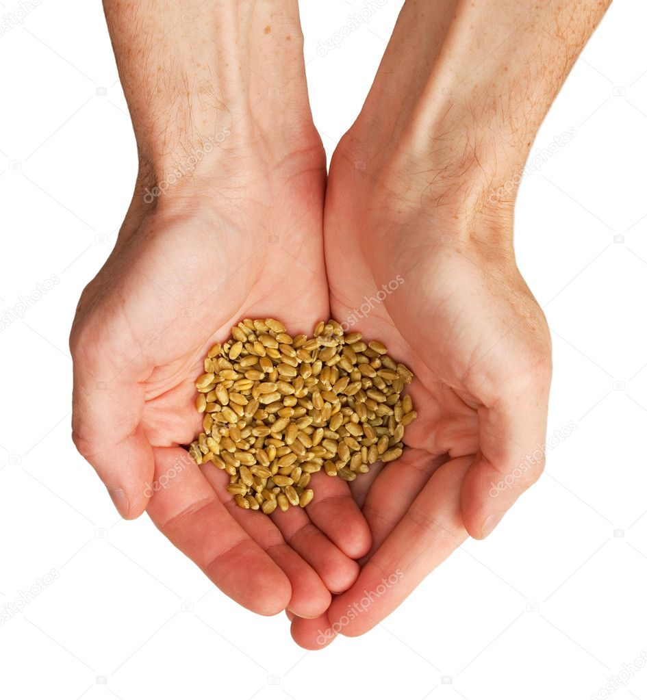 The hands and wheat isolated on a white background — Stock Photo #1790086