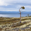Half-dead pine at mountain top — Stock Photo
