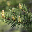 Runaways of a pine close-up — Stock Photo