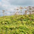 Thickets Heracleum — Stock Photo