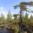 Stock Photo: Crook pine among bog