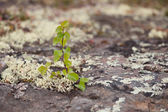 Small birch living on a rock — Stock Photo