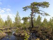 The crook pine among bog — Stock Photo