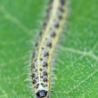Caterpillar of butterfly on green leaf — Stock Photo