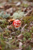 Amanita muscaria in forest — Stock Photo