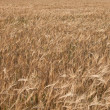 Background from a field sowed by a rye - Stock Photo