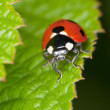 Red ladybird sits on green sheet — Stock Photo