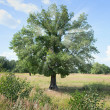 Stock Photo: Standing tree oak with beams in crone