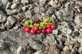 Cowberry growing on stony soil — Stock Photo