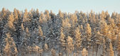 Horizon covered winter forest — Stock Photo