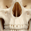 Facial part of skull close up — Stock Photo