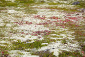 Ground covered by mosses and lichen — Stock Photo