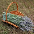 Royalty-Free Stock Photo: Organic fresh lavender stems.