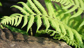 Fern leave — Stockfoto