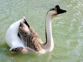 Grey domestic goose — Stock Photo