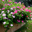 Stock Photo: Pink garden flowers