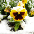 Yellow pansy under snow - Stock Photo