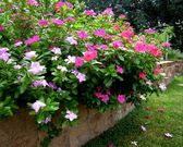 Pink garden flowers — Stock Photo