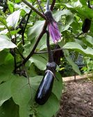 Biologische aubergines — Stockfoto