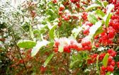 Red Berry under snow — Stock Photo