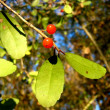 Yaupon Holly (Ilex vomitoria) — Stock Photo