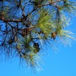 Branch of pine with cones — Stock Photo #1556813