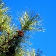 Photo: Branch of pine with cones