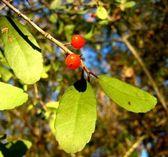 Yaupon Holly (Ilex vomitoria) — Stock Photo