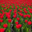 Field red tulips — Stock Photo