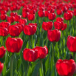 Field red tulips — Stock Photo #1010043