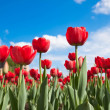 Royalty-Free Stock Photo: Fresh red tulips against a clear sky