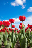 Fresh red tulips against a clear sky — Stock Photo