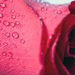 Royalty-Free Stock Photo: Beautiful red rose with water droplets