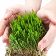 Women hands protect sprouts green grass — Stock Photo
