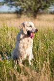Dog-golden retriever — Stock Photo