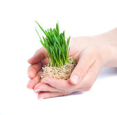 Green grass in women hands — Stock Photo