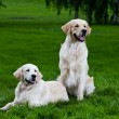 Stock Photo: Two golden retriever on green grass