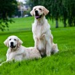 Two golden retriever on green grass — Stock Photo