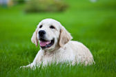 Golden retriever puppy on green grass — Stock Photo