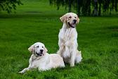 Two golden retriever on green grass — Stock Photo