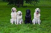 Three golden retriever and one labrador — Stock Photo