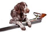 Hunting dog with a gun — Stock Photo