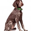 German pointer Attentively looks — Stock Photo